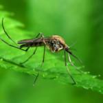 Zanzara OGM, fine della malaria o pericolo per l'ecosistema?
