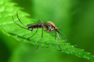 Zanzara-malaria-gene-drive
