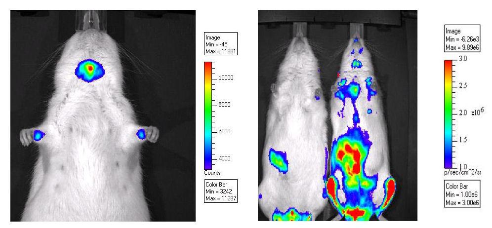 imaging ottico tossicologia vivisezione