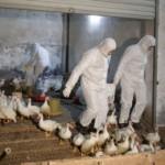Influenza Aviaria, nuovo ceppo H10N8 dichiarato a basso rischio