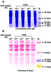 protocollo colorazione membrane rosso ponceau